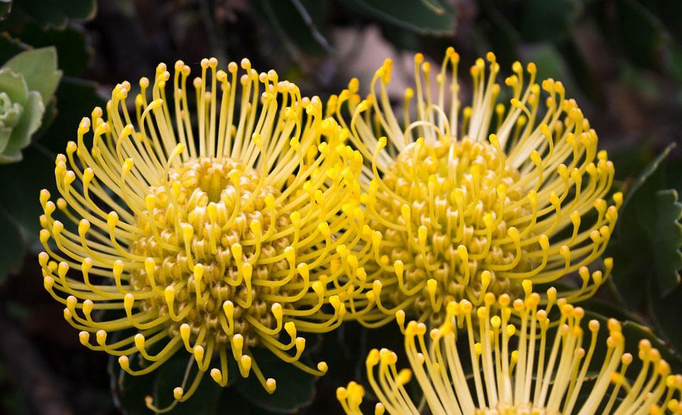 Leucospermum cordifolium amarillo