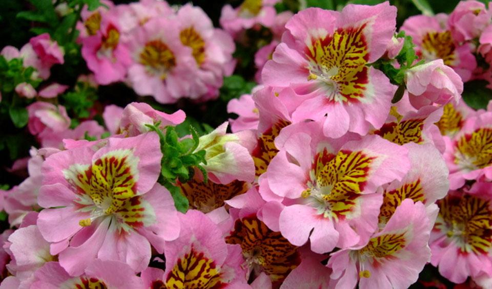 Schizanthus wisetonensis en rosa