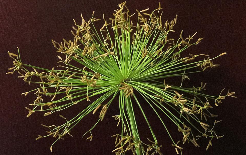 Floración del Cyperus papyrus