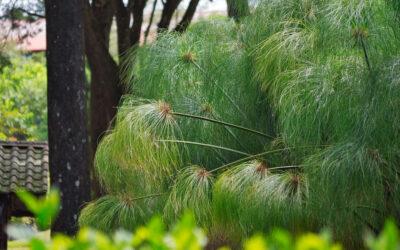 Cyperus papyrus o Papiro