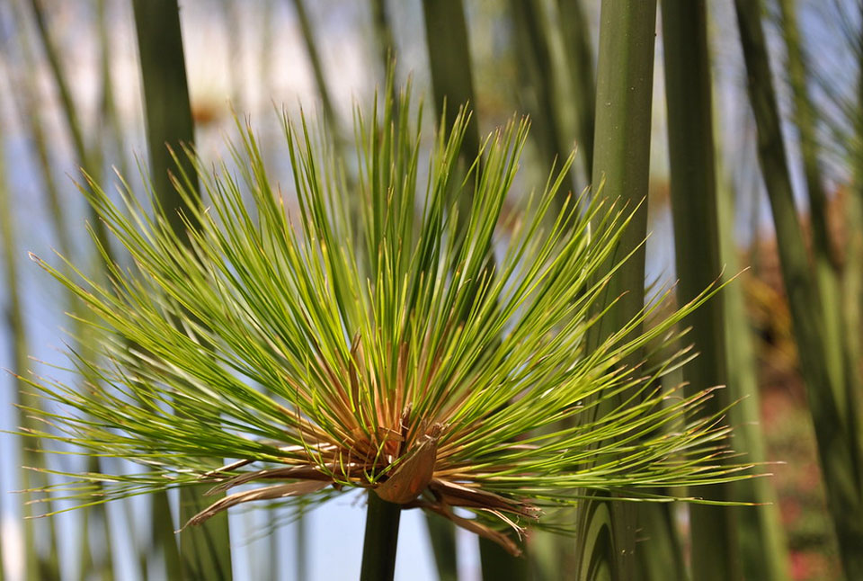 Hojas de Cyperus papyrus