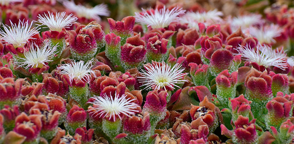 Mesembryanthemum crystallinum o planta de hielo