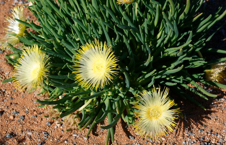 Lampranthus amarillo