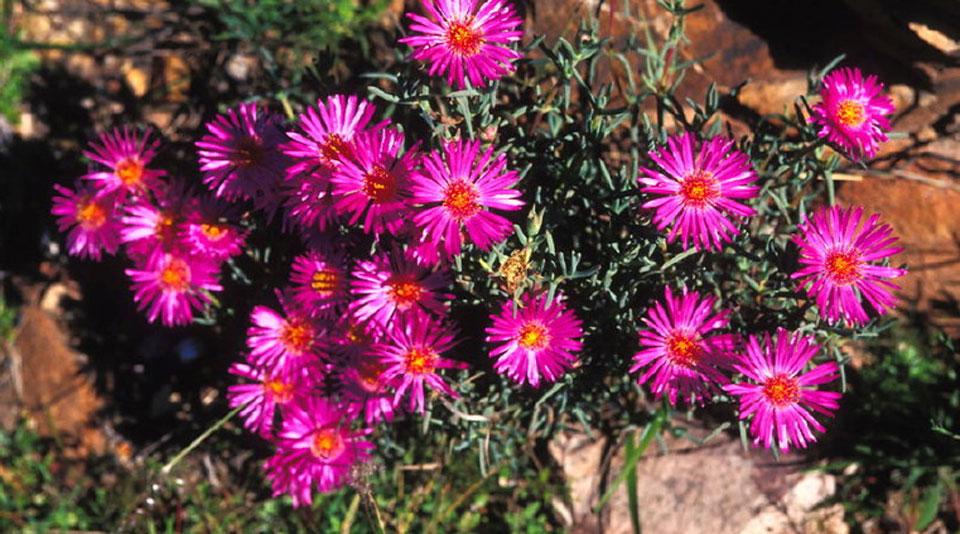 Lampranthus de flor rosa
