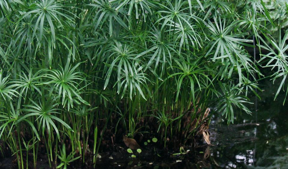 Cyperus alternifolius en estanque
