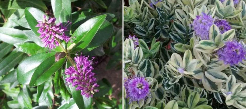 Hebe follaje verde y variegata