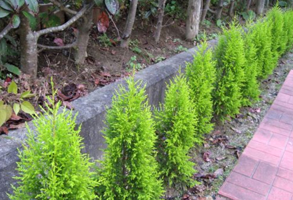 Seto de Cupressus macrocarpa