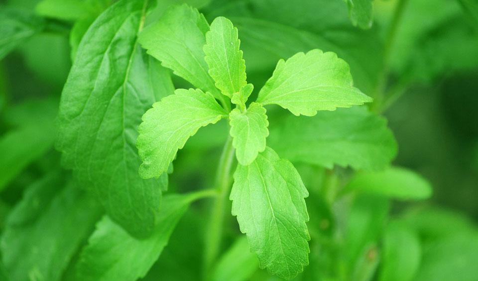 Hojas de Stevia rebaudiana